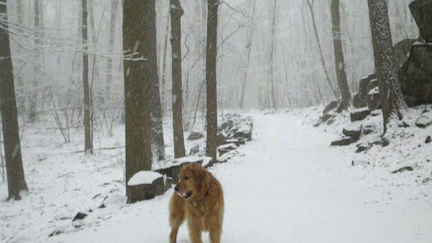 A dog walks on the snow-covered ground at Sleeping Giant State Park in Hamden, Conn. on March 21, 2011. Snow fell throughout the morning on the first full day of spring. Photo: Contributed Photo/WTNH