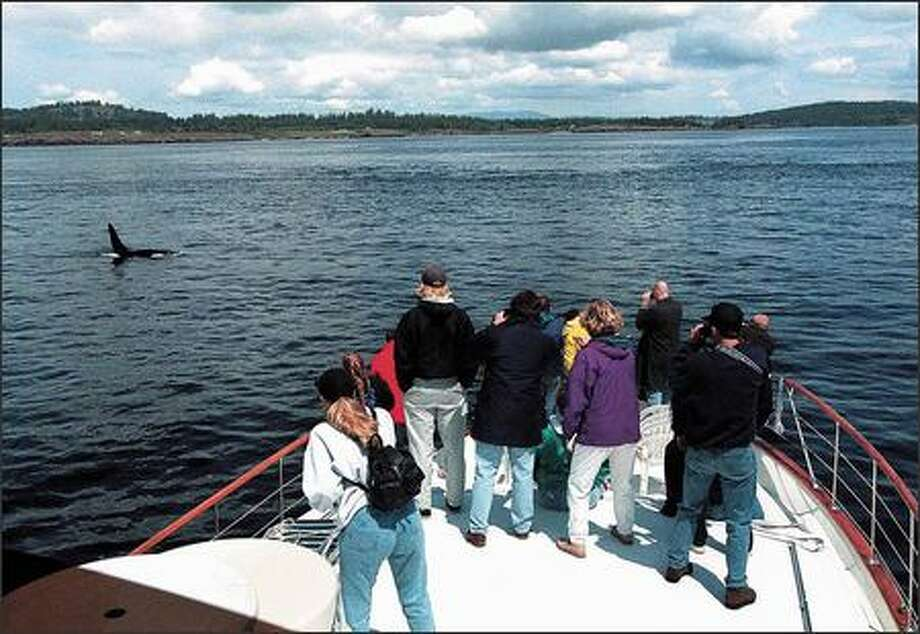 Orca watching is a popular activity, and there is concern that some boaters get too close to the animals and disturb them. Commercial whale-watch operators support San Juan County's new ordinance. Photo: / P-I File