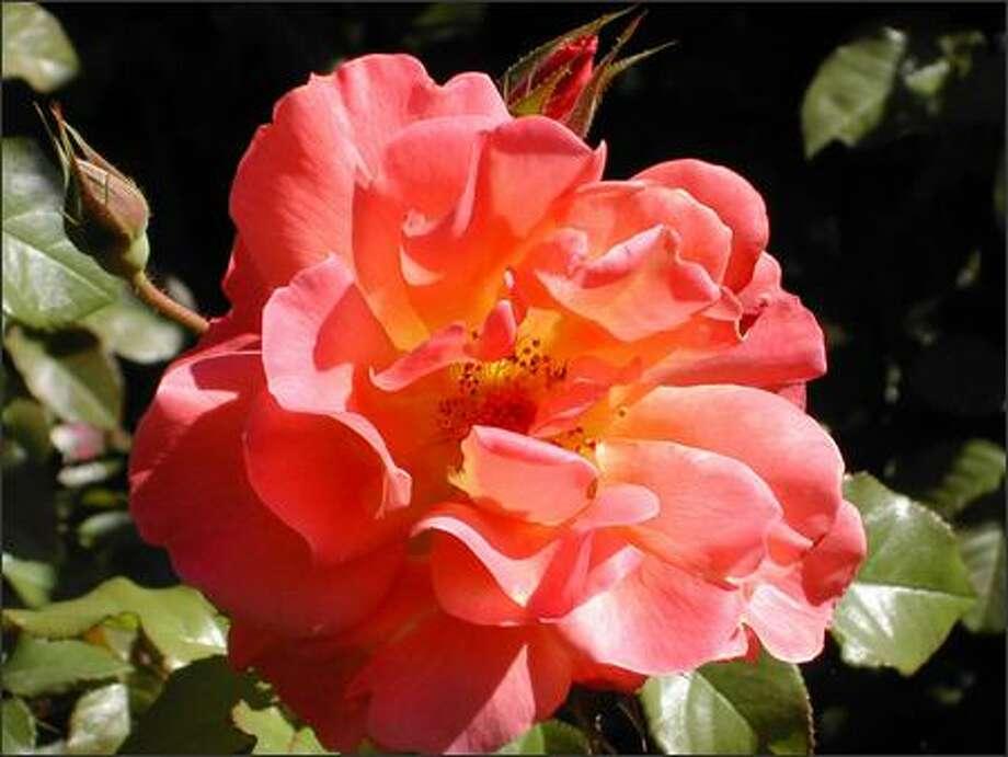 "Rosa ""Westerland"" Photo: Great Plant Picks"