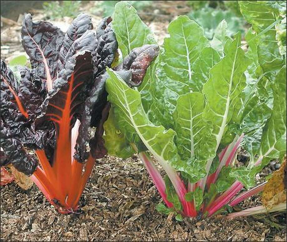 Bright Lights Swiss chard adds a splash of red to your garden. Photo: / Associated Press