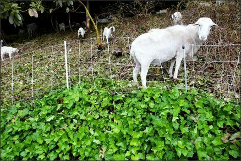 "Craig Madsen's 270 rented goats make quick work of brush at the Metro bus depot in Bellevue on June 6. ""They are just eating machines,"" said Tammy Dunakin of Vashon Island, who also rents out goats. ""They suck down blackberry vines like it was spaghetti. I don't understand it, (but) the thorns don't bother them at all."" Photo: Paul Joseph Brown/Seattle Post-Intelligencer"