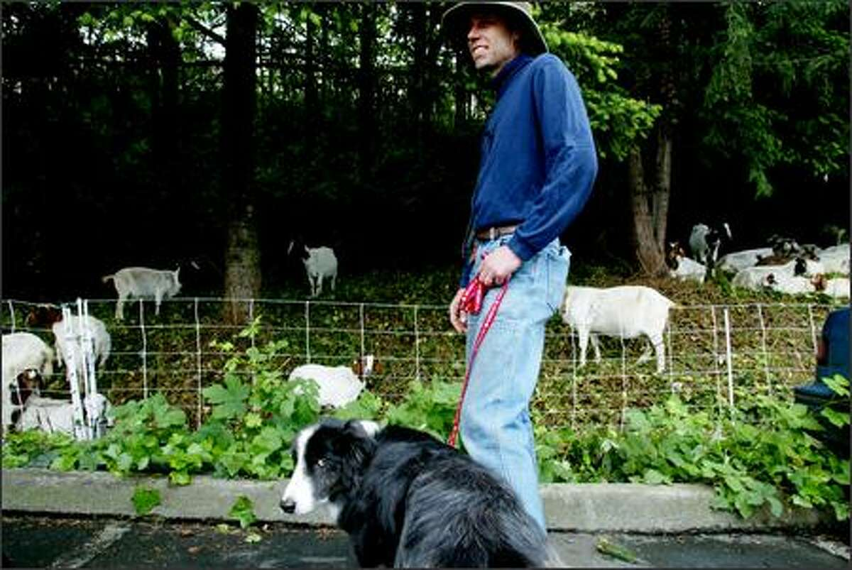 Craig Madsen and his border collie Mac stand guard while Madsen's herd of about 270 hungry goats eat their fill of blackberry vines and ivy at the Metro bus depot in Bellevue on June 6. An Eastern Washington rancher, Madsen spends five months a year touring Western Washington in a semi with a 30-foot double-deck trailer full of goats.