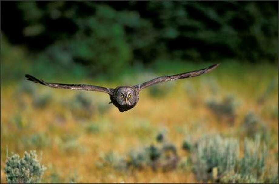 A great gray owl flies across a clearing in Wyoming's greater Yellowstone ecosystem, part of the Rocky Mountains chain that scientists and environmentalists want to save from gross exploitation by developers. Photo: FLORIAN SCHULZ