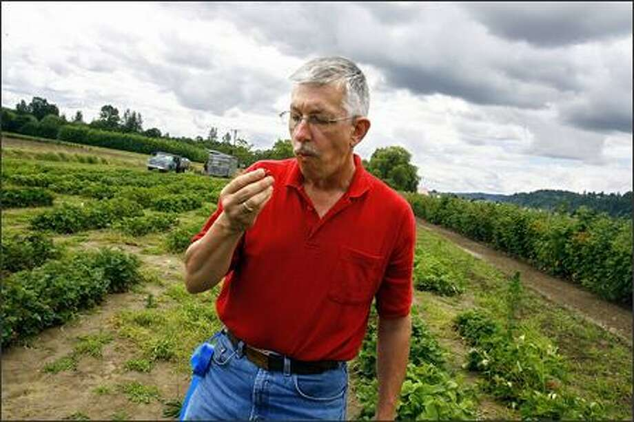 Patrick Moore tastes a fresh-picked strawberry in the field at the WSU research station at the Goss Farm in Puyallup. Moore, who has been a plant breeder at WSU for the past 20 years, specializes in strawberries and raspberries, heading the cultivar development program. Photo: GILBERT W. ARIAS/P-I
