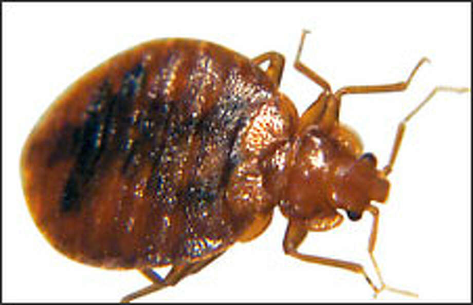 Bedbugs are making a comeback in the Pacific Northwest.