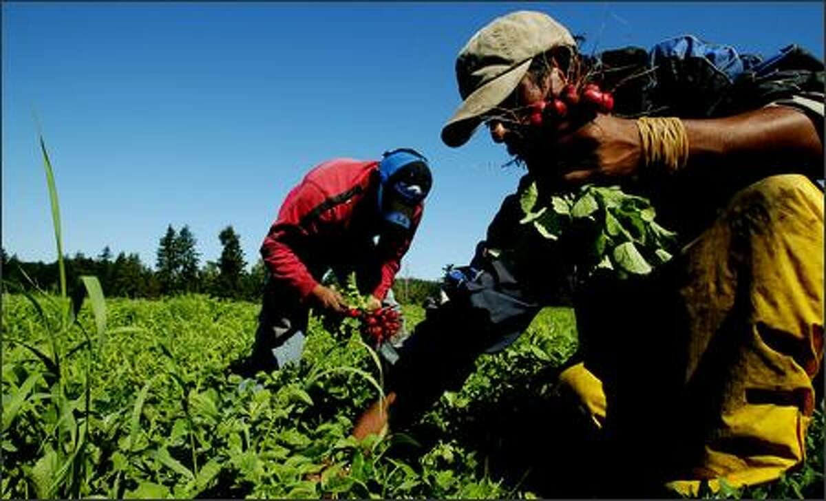Farm workers, including Francisco Martinez at right, pick radishes at Stoney Plains Organic Farm in Tenino. The farm sells its produce at Pike Place Market.