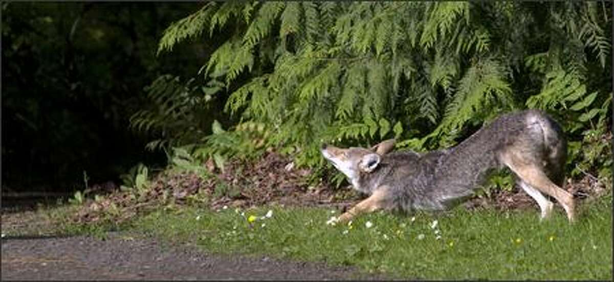 A coyote taks an early-morning stretch near a path in the Washington Park Arboretum.
