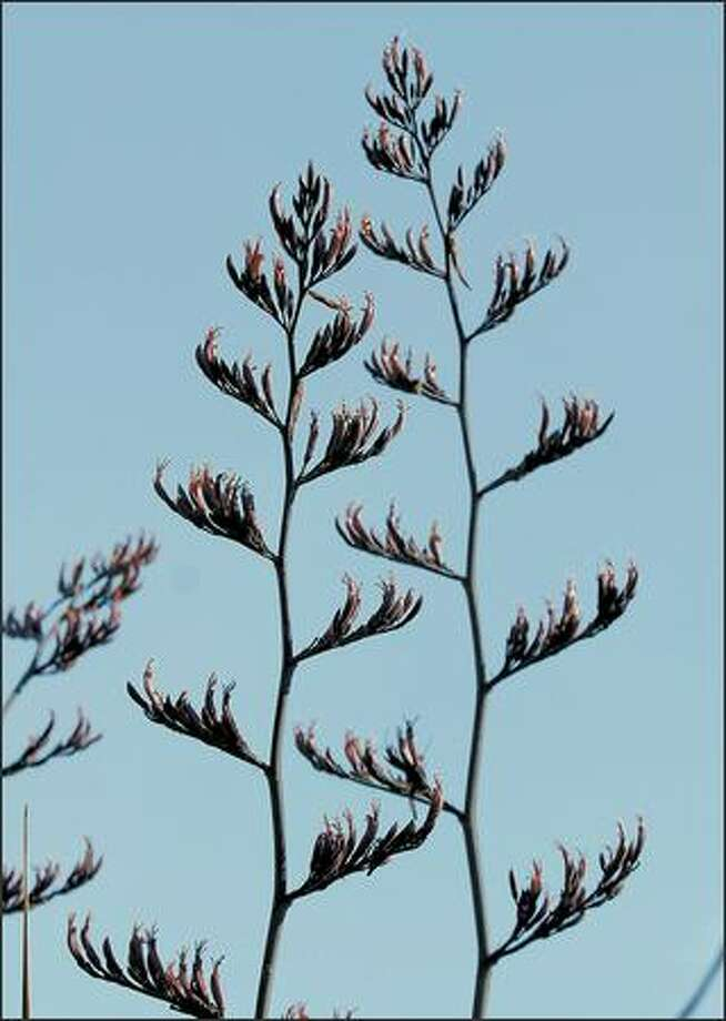 The bloom seen on this bronze New Zealand Flax is a rarity found in Ballard. Photo: Steve Shelton Images