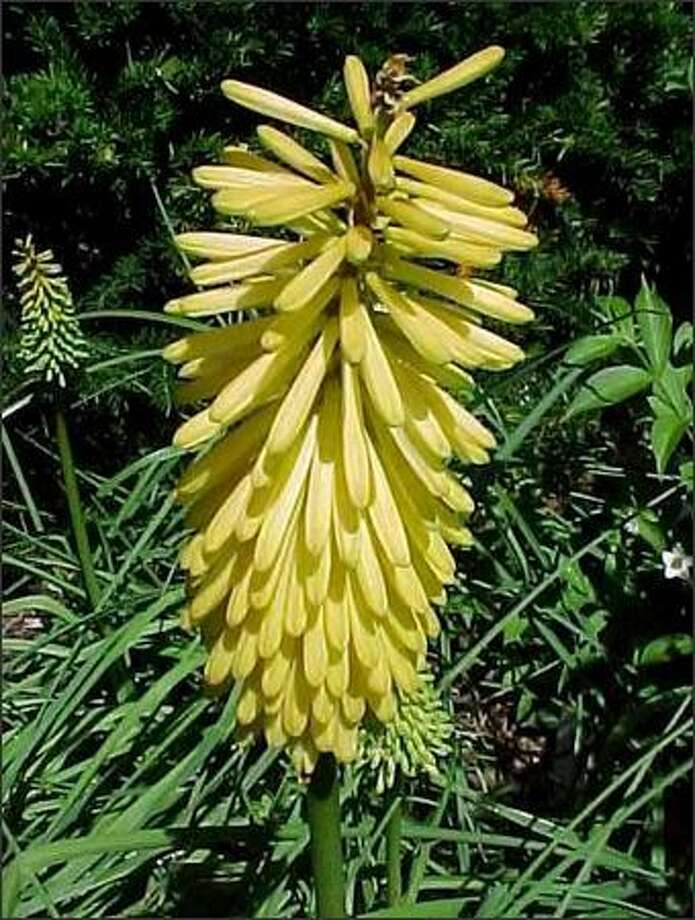 Hybrids of Kniphofia offer finer, more attractive foliage than the old varieties, plus fiery flowers that arrive all summer. Photo: /