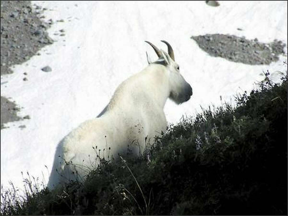 Where mountain goats are welcome: A mountain goat puts in an appearance on the Skyline Trail above Paradise in Mt. Rainier National Park.