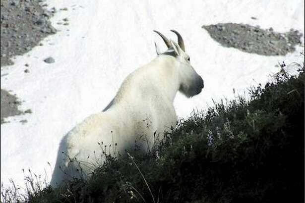 A mountain goat puts in an appearance on the Skyline Trail above Paradise.