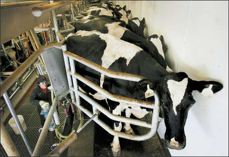Maria Ortiz Mendez milks cows at an 800-acre dairy farm in Lynden, which is owned by Rod DeJong, board chairman of the Northwest Dairy Association. Photo: Dan DeLong/Seattle Post-Intelligencer