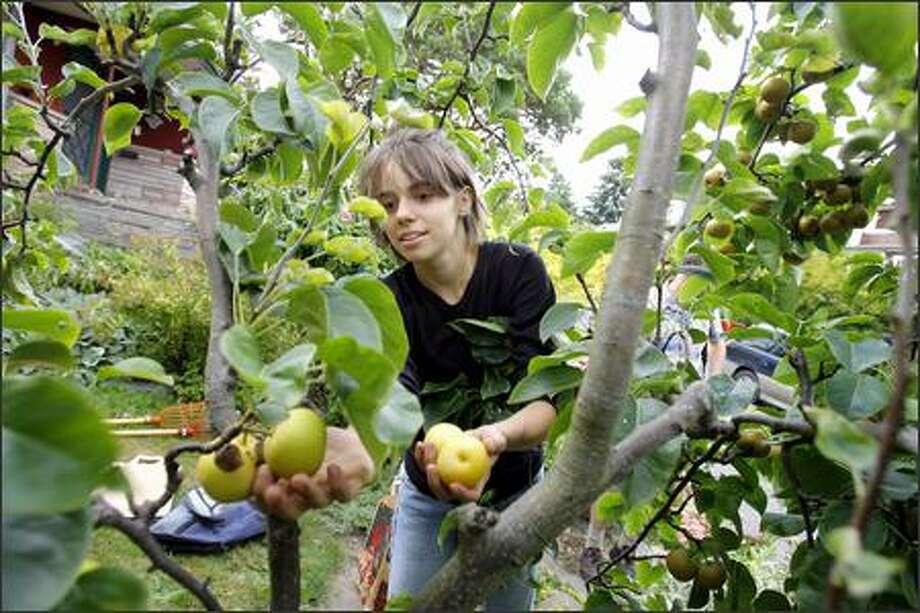 Volunteer picker Ashley Fent finds an overabundance of fruit in Doug Plummer's backyard. Photo: Gilbert W. Arias/Seattle Post-Intelligencer