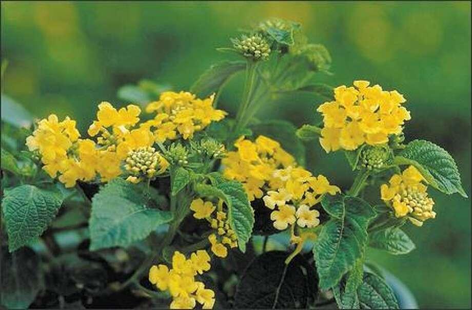 Lantana camara 'Dwarf Yellow' Photo: Monrovia