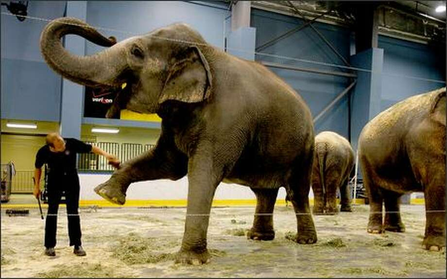 Ryan Henning, an animal handler with Ringling Bros. Barnum & Bailey Circus, dusts off Luna, a 8,000 pound 23-year-old Asian elephant in a holding area inside the Everett Events Center on Wednesday. Photo: Gilbert W. Arias/Seattle Post-Intelligencer