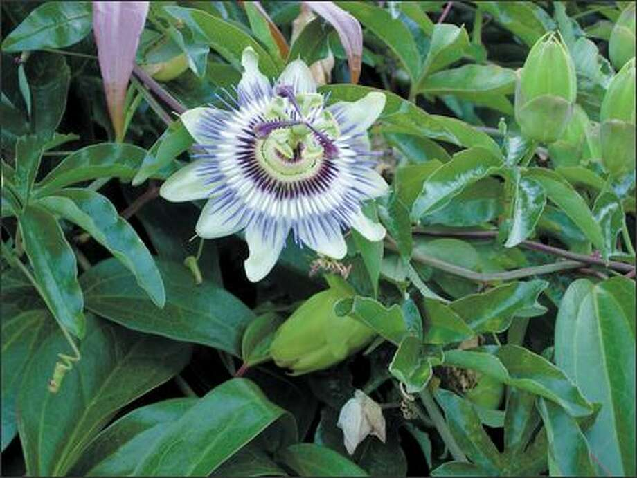 Passiflora caerulea, right, grows and blooms well against a warm, sunny wall. Photo: Marty Wingate/for The Seattle Post-Intelligencer