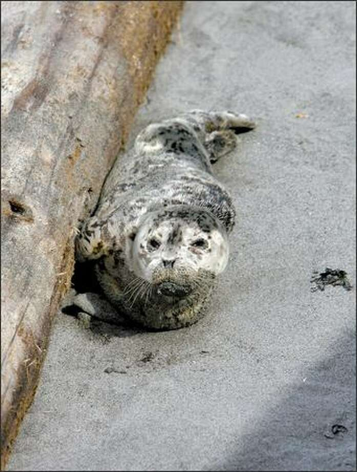 As a baby seal waits Tuesday on Alki Beach while its mother hunts, seal sitters are guarding the pup. Photo: Gilbert W. Arias/Seattle Post-Intelligencer