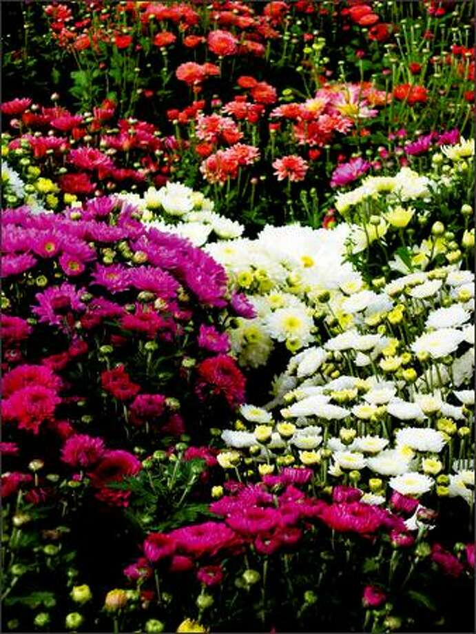 The nurseries are filled with chrysanthemums, with good reason. The bold blooms are a natural for fall. (MARTY WINGATE) Photo: /