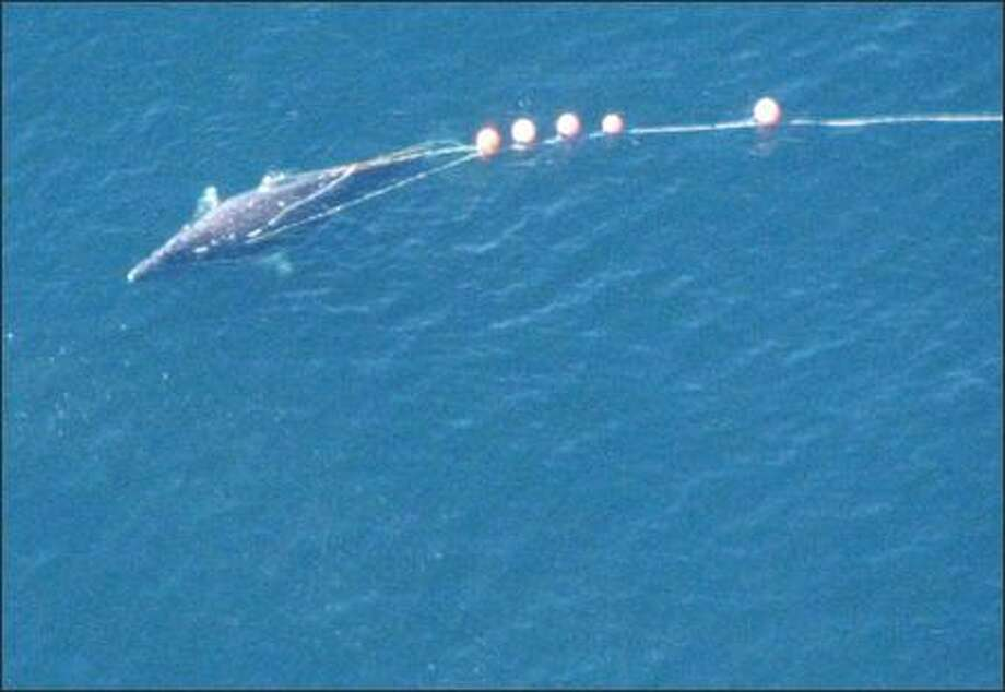 In this Sept. 9, 2007 investigation photo provided by the U.S. Attorney's office in Seattle, a harpooned gray whale is shown with buoys attached. Five members of the Makah tribe were indicted by a federal grant jury Thursday, Oct. 4, 2007 and charged with misdemeanor counts in the killing of the whale during a rogue hunt last month near Neah Bay, Wash. The indictment charged the five men with conspiracy, unlawful taking of a marine mammal and unauthorized whaling. Photo: / Associated Press