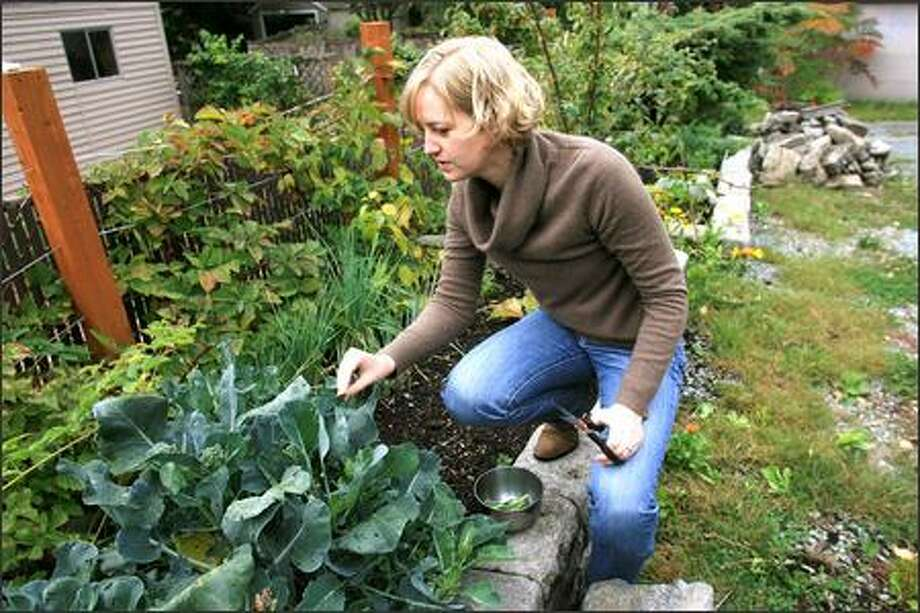 Lisa Stiffler clips some of the last broccoli florets from her vegetable garden at her Seattle home. Photo: Dan DeLong/Seattle Post-Intelligencer