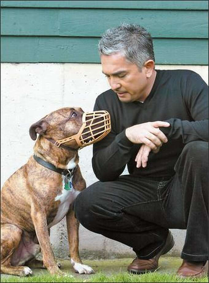 "Working with muzzled pit bulls is second nature to ""Dog Whisperer"" Cesar Millan. Here, he communicates with Buddy. Photo: Karen Ducey/Seattle Post-Intelligencer"