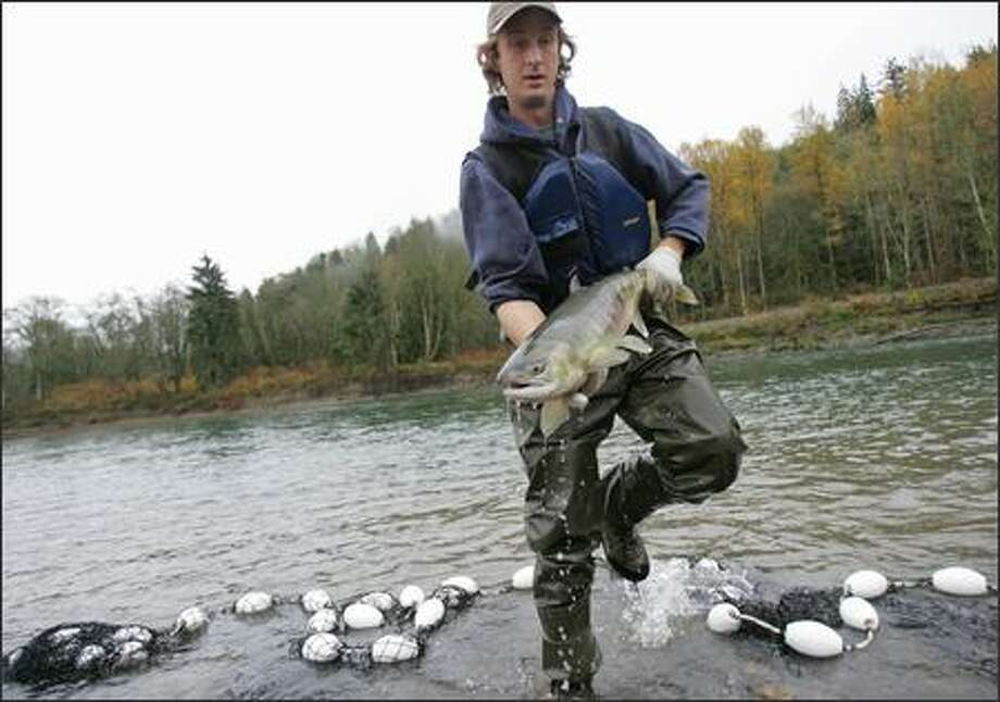 Field biologist Jake Musslewhite hurries with a salmon to be tagged and equipped with a tracking device during a recent research operation on the Skagit River. Photo: Mike Kane/P-I