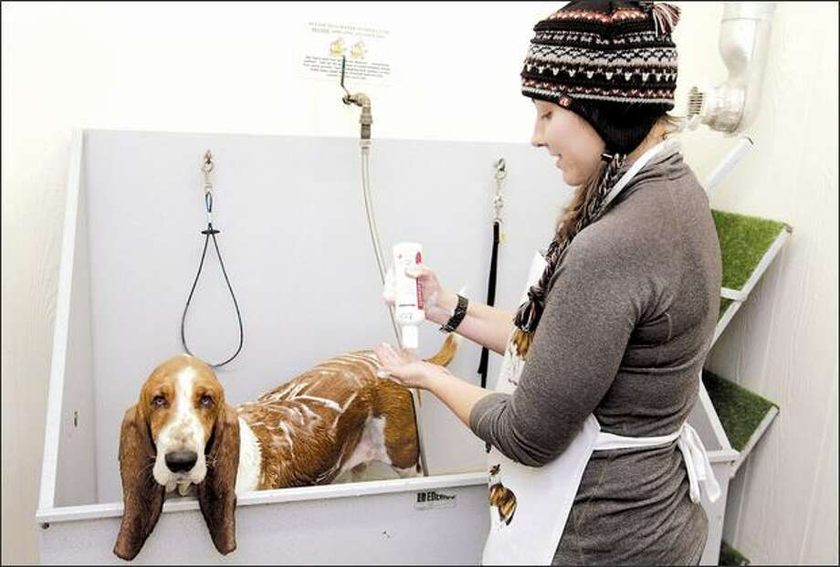 Erin Williams, a dog walker from West Seattle, gives Lou, a client's dog, a shampoo at The Wash Dog last week. It was two-for-one day, so her own dog also got a bath. Photo: Meryl Schenker/Seattle Post-Intelligencer