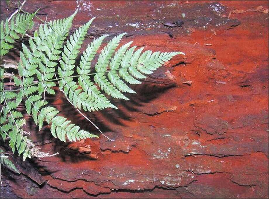 A sword fern stands out sharply against the bark of a stump. Photo: KAREN SYKES