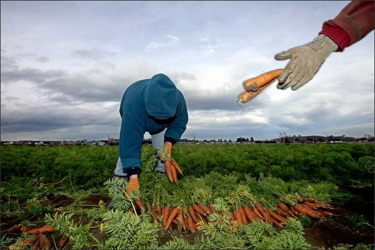 Eloina Najera stacks carrots harvested this month at Nash's Organic Produce in Sequim in Clallam County as co-worker Adam Mihalik tosses others onto a discard pile.