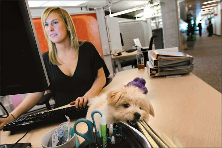 As Avery Greene works Tuesday, Brody, a Pomapoo puppy, gnaws on her notebooks at Google's new Fremont office, where dogs are welcome. Photo: Andy Rogers/Seattle Post-Intelligencer