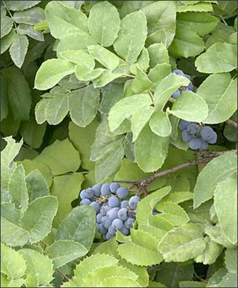 Northwest native low Oregon grape is considered a groundcover. Photo: Monrovia