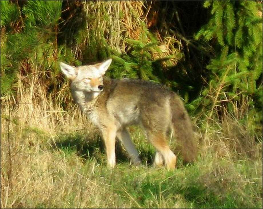 A coyote at Discovery Park has apparently lost its fear of humans. But wildlife experts say coyotes are not a threat to people. Photo: Kym Nyyssela Otte