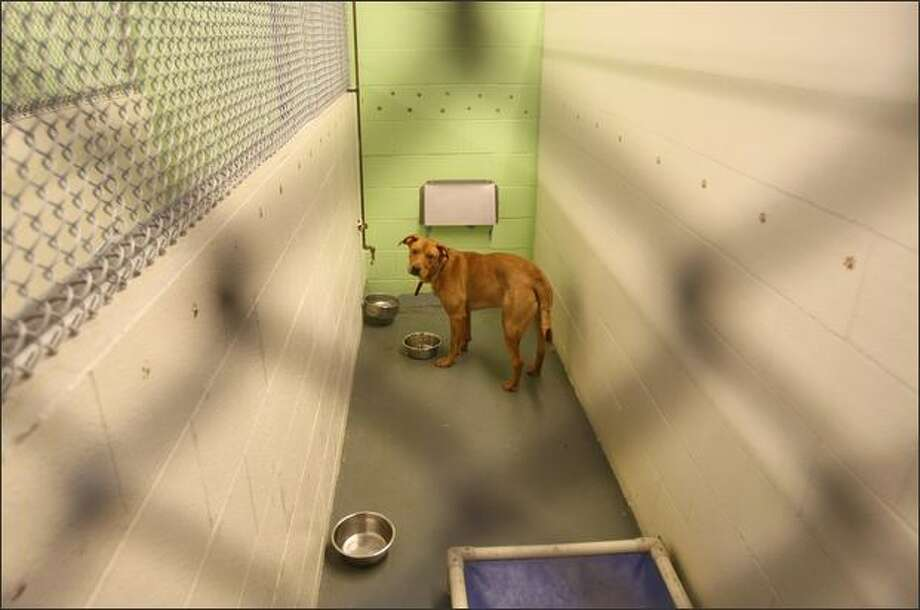 Rascal looks up from eating in his kennel at the Kent Animal Care and Control Shelter Kent on Monday. Photo: Mike Kane/Seattle Post-Intelligencer