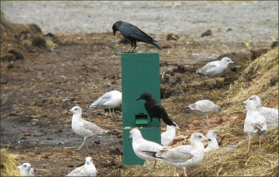 Joshua Klein created a vending machine that dispenses peanuts when crows deposit coins. Photo: /