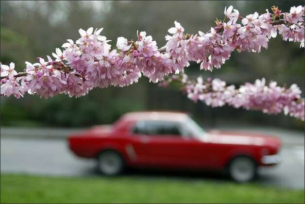 A Ford Mustang cruises Lake Washington Boulevard East on Wednesday through the Washington Park Arboretum, where flowering cherry blossoms are starting to show. Photo: Mike Urban/Seattle Post-Intelligencer