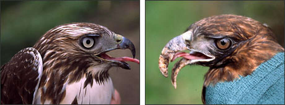Left: A red-tailed hawk with a normal beak. Right: A red-tailed hawk with a long-billed deformity.