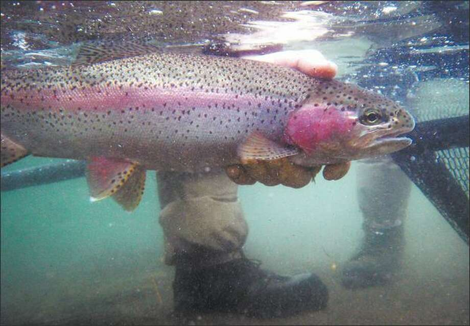 A nice-size rainbow is released in the Columbia River. Photo: GILBERT W. ARIAS/P-I