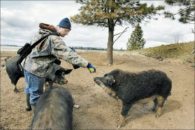 Heath Putnam feeds a snack to a Mangalitsa boar near Spokane. Putnam is the sole U.S. importer of the pricey pigs, prized for their high fat content and earthy flavor. Photo: Meryl Schenker/Seattle Post-Intelligencer