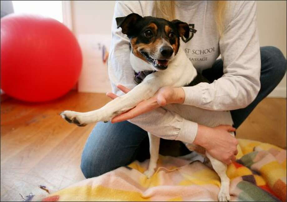 Shanny, a Jack Russell/terrier mix, is eased into some stretching at a recent small-animal massage class led by Lola Michelin at Northwest School of Animal Massage. Photo: Paul Joseph Brown/Seattle Post-Intelligencer