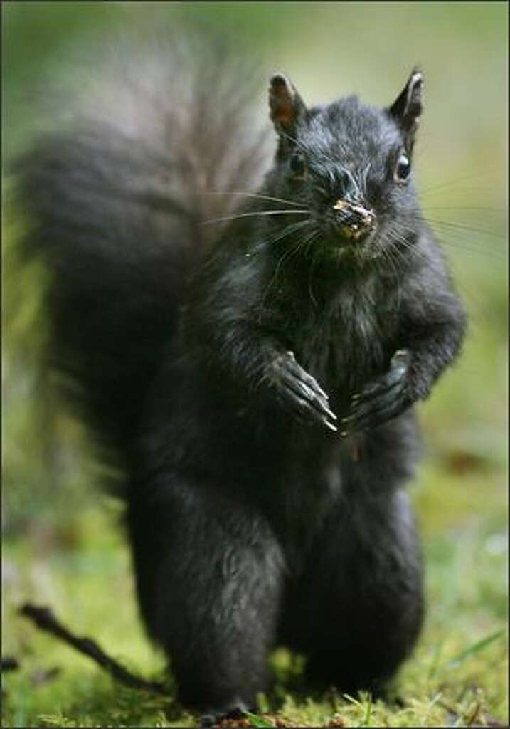 One of Stanley Park's black squirrels. Photo: DAN DELONG/P-I