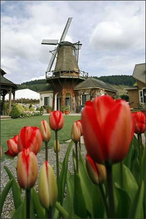 Red impression tulips outline the Dutch-style windmill at the Windmill Gardens nursery in Sumner. Photo: GILBERT W. ARIAS/P-I