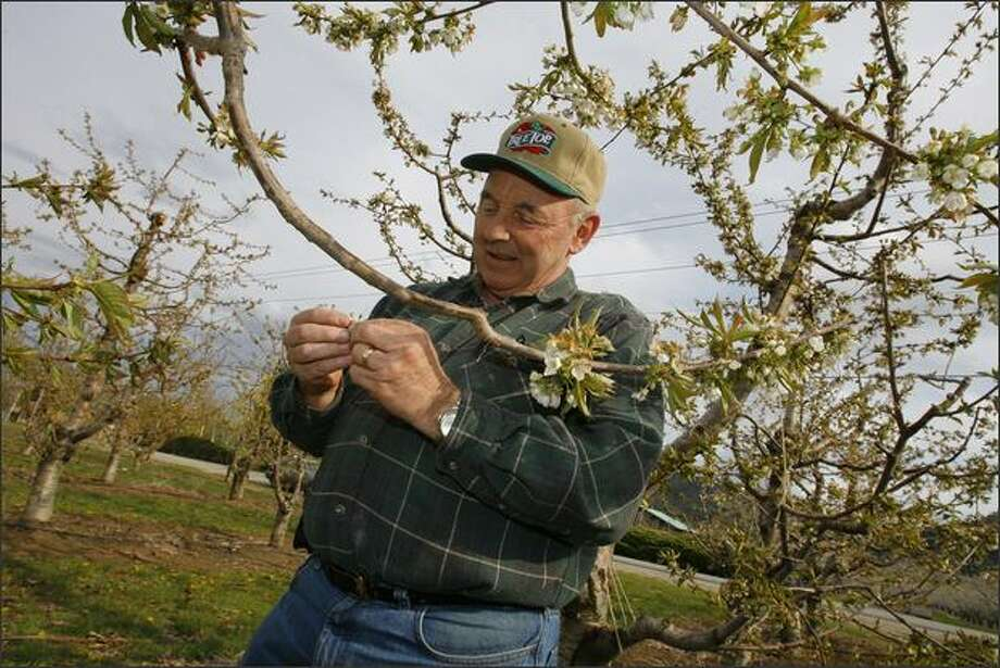 Fruit grower Randy Smith inspects cherry blossoms Thursday in an orchard outside Cashmere. Photo: Gilbert W. Arias/Seattle Post-Intelligencer