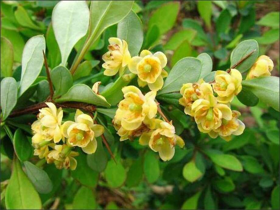 Berberis julianae  (wintergreen barberry) Photo: Great Plant Picks