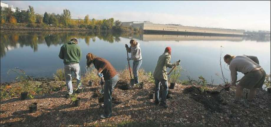 Volunteers working to restore the habitat on the banks of the Duwamish River could soon be joined by Bluefield Holdings, a startup that seeks to make money by doing environmental restoration projects. Photo: Paul Joseph Brown/Seattle Post-Intelligencer