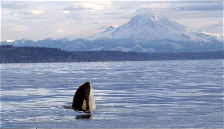 Pacific Science Center and NOAA have teamed up to entice potential scientists with fascinating marine explorations, including genetic analysis of Puget Sound's three resident orca pods. Photo: Fred Felleman/Orca Conservancy/AP