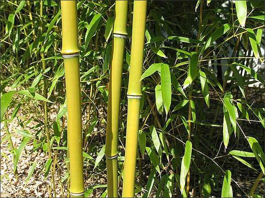 Phyllostachys aureosulcata (yellow groove bamboo) is one of the hardiest bamboos and makes good screens. Photo: / Missouri Botanical Garden