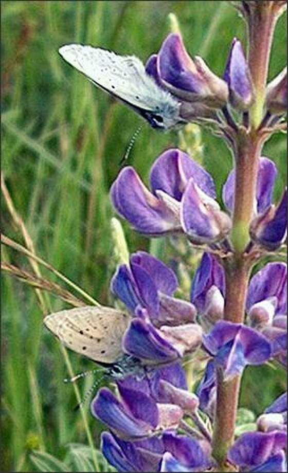 Though Kincaid's lupine and Fender's blue butterfly are vanishing in Western Oregon, a flourishing lupine colony has been found on a dairy farm in Washington. Photo: /