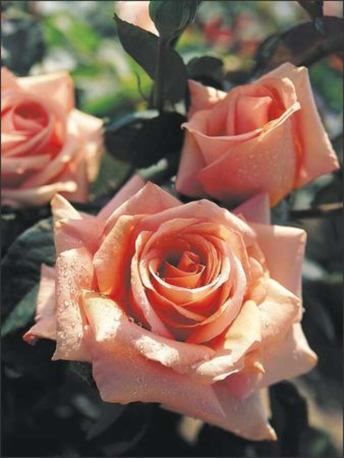 Rosa 'Sunset Celebration' is one of 10 All-America Rose Selections Region's Choice winners. Photo: / All America Rose Selections