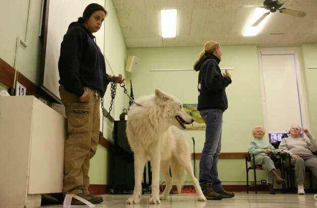 Wolf handler Rebecca Bose of the Wolf Conservation Center in South Salem, N.Y., holds on to Atka, an Arctic grey wolf during Wednesday mornings visit to the Greenwich Senior Center.  March 23, 2011 Photo: David Ames, David Ames/For Greenwich Time / Greenwich Time Freelance