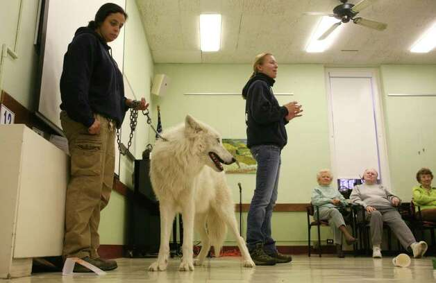 Wolf handler Rebecca Bose, left, of the Wolf Conservation Center in South Salem, N.Y. holds on to Atka, an Arctic grey wolf, during Monday mornings visit to the Greenwich Senior Center.  Wolf Conservation Center educator Maggie Howell, right, answered questions. Photo: David Ames, David Ames/For Greenwich Time / Greenwich Time Freelance
